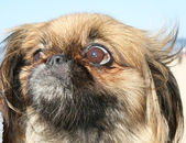 Pekinese on a walk near a Baltic sea — Stock Photo