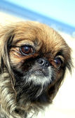 Pekinese on a walk — Stock Photo