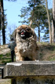 Pekinese on a walk in the forest — Stock Photo