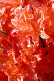 Orange and red rhododendrons — Stock Photo