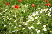 Meadow with July flowers — Stock Photo