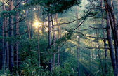 Rays of a sun in forest — Stock Photo
