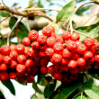 Ripe red wild rowan — Stock Photo #1320887