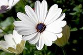White decorative camomile — Stock Photo