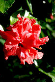 Red Hibiscus bloom — Stockfoto
