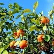Stock Photo: Mandarines on tree