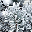 Frozen needles of pine tree - Stock Photo