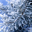 Frost on pine - Stock Photo