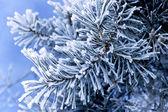 Frost on pine — Stockfoto