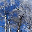 Stock Photo: Birchs in hoarfrost