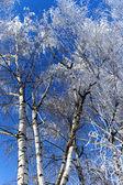Birchs in a hoarfrost — Stock Photo