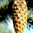 Branch of blue fir-tree with a cone — Stock Photo