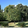 Mandarine tree in Bahai garden — Stock Photo
