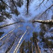 The sky in spring forest — Stock Photo