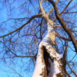 Stock Photo: Winter tree and blue sky