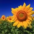 Sunflowers and the deep blue sky - Foto de Stock