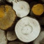 Chopped trees — Stock Photo