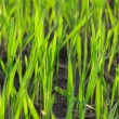 Grass green macro fresh landscape — Stock Photo