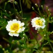 Flower petals Camomile — Stock Photo