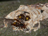 Wasps a hornet on a tree — Stock Photo