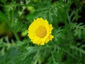 黄色の花の花びら — ストック写真