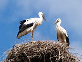 Two storks in the nest — Stock Photo