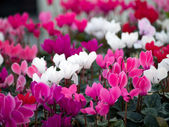 Cyclamens — Stock Photo
