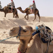 Camels — Stock Photo #1194303