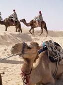 Camels caravan in desert — Stock Photo