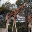 Giraffe — Stock Photo #1314097