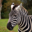 Zebra — Stock Photo #1319176