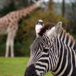 Zebra — Stock Photo #1319197