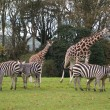 Giraffes and zebras — Stock Photo