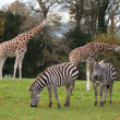 Safari park — Stock Photo #1319705