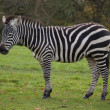 Zebra — Stock Photo #1319956