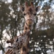 Giraffe — Stock Photo #1320091