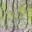 Stock Photo: Green spruce bark