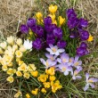 Yellow, blue, purple and white crocuses - Stock Photo