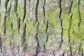 Green spruce bark — Stock Photo