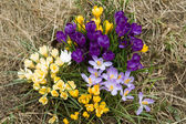 Yellow, blue, purple and white crocuses — Stock Photo