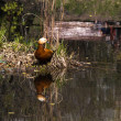 Orange duck reflected in water - Stockfoto
