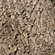 Foto de Stock  : Oak bark