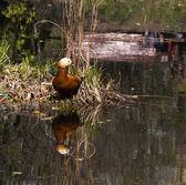反映在水中的橙色鸭 — 图库照片