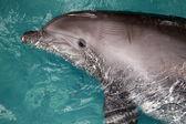 Swimming dolphin — Stock Photo