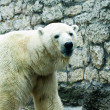 Polar bear in a zoo — Photo