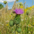 Bee and Thistle — Stock Photo