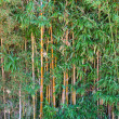 Green Bamboo Forest — Stock Photo