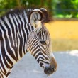 Stock Photo: Portrait of zebra