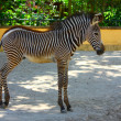 Adorable baby Zebra standing — Stock Photo