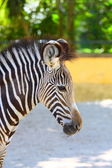 Portrait of zebra — Stock Photo